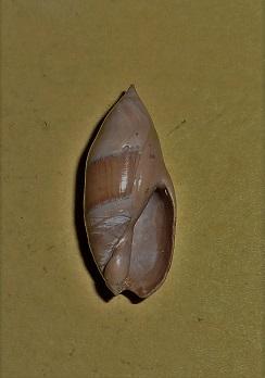 Olividae - † Ancilla dubia (Deshayes, 1830) - Lutétien moy. (Fleury la Rivière 51) Dscn6511