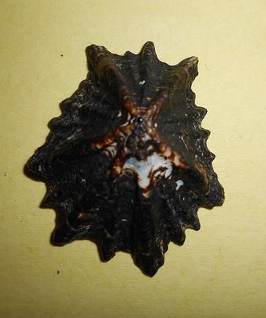 Lottiidae - Patelloida saccharinoides - Habe & Kosuge, 1996 Dscn6625