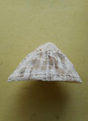 Patella vulgata - Linnaeus, 1758 Dscn6719