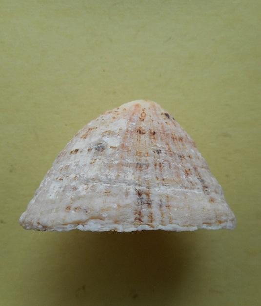 Patella vulgata - Linnaeus, 1758 Dscn6722