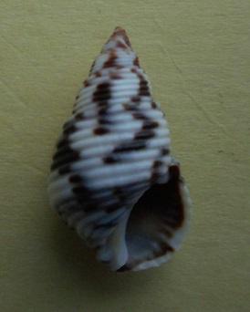 Planaxis sulcatus - (Born, 1778) Dscn6821