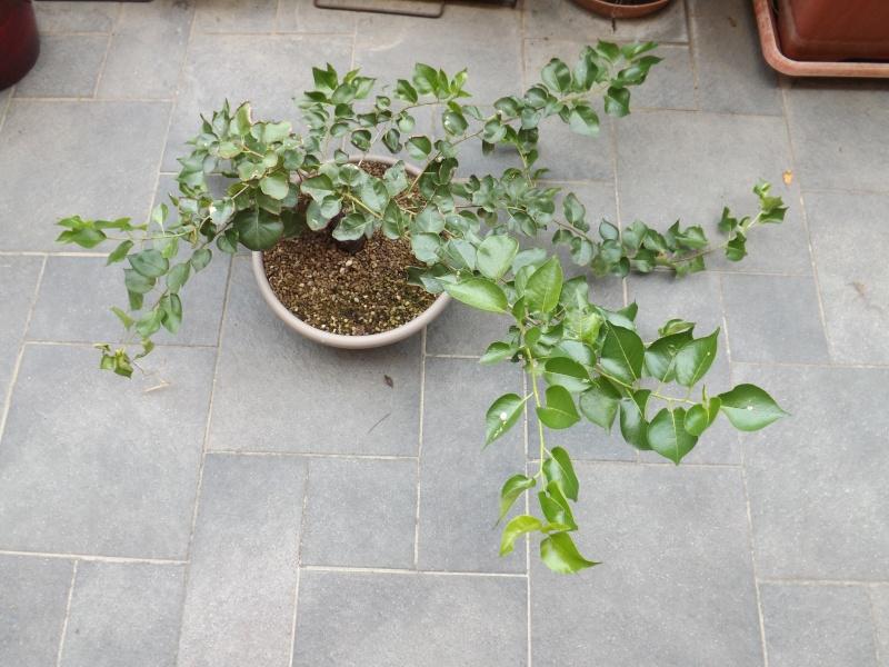 Prunus mahaleb  00210