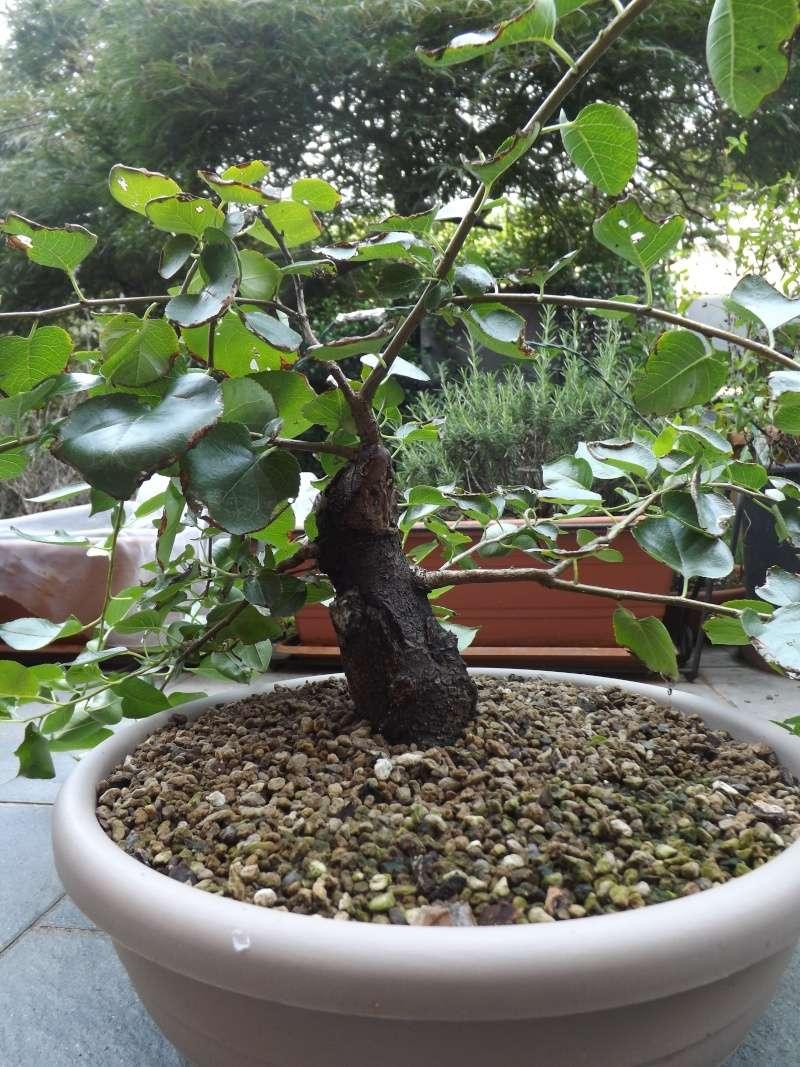 Prunus mahaleb  00310