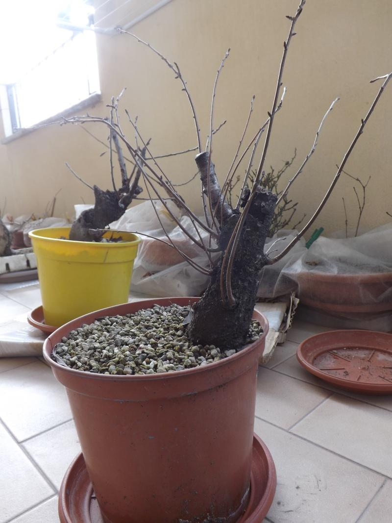 Prunus mahaleb  0051110