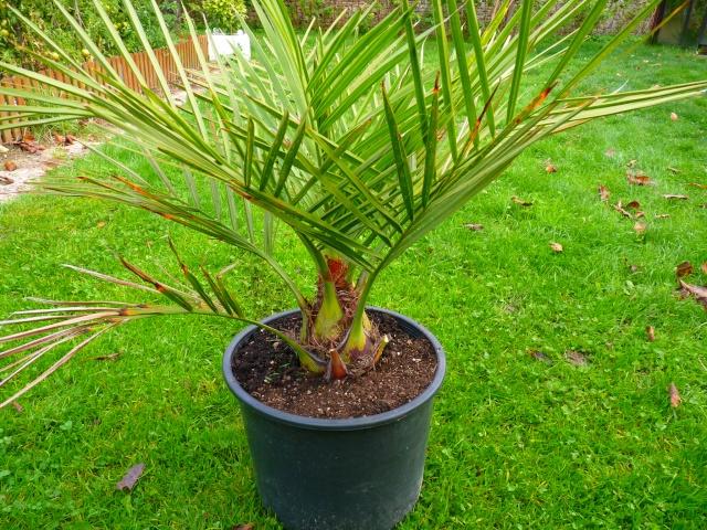Jubaea chilensis - cocotier du Chili P1040015