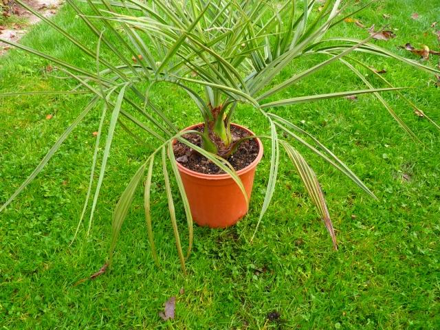 Jubaea chilensis - cocotier du Chili P1040016