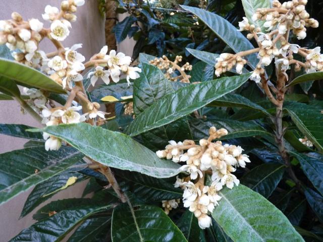 Eriobotrya japonica - bibacier, néflier du Japon P1040120