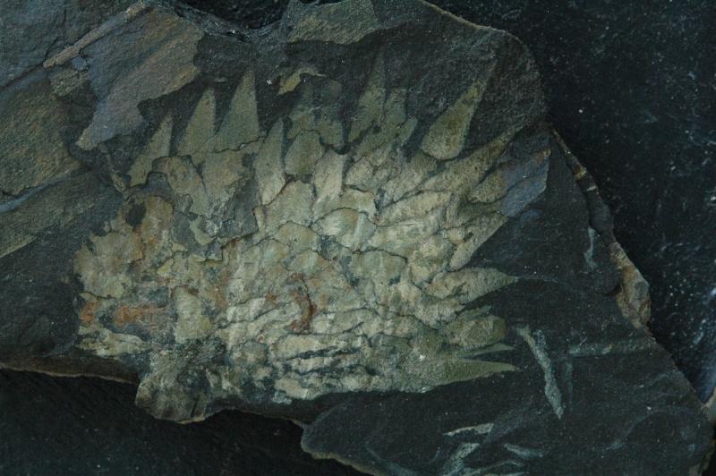 Flore Carbonifère des Alpes Françaises part 1 Vol_2210