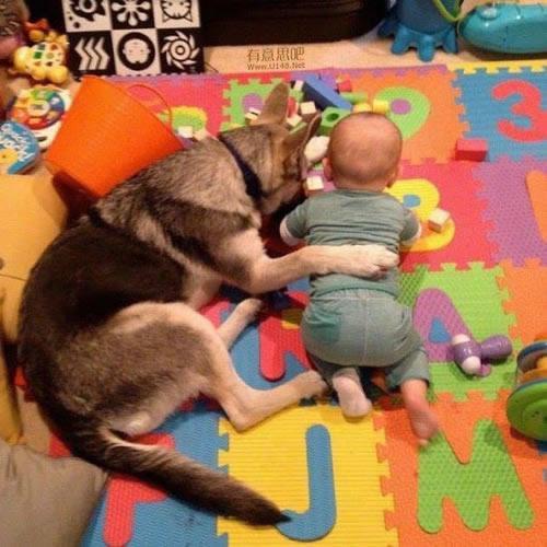 Les chiens Baby Sitters.. Magnifique... 0410