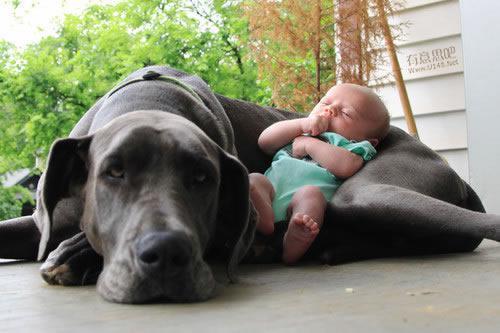 Les chiens Baby Sitters.. Magnifique... 0610