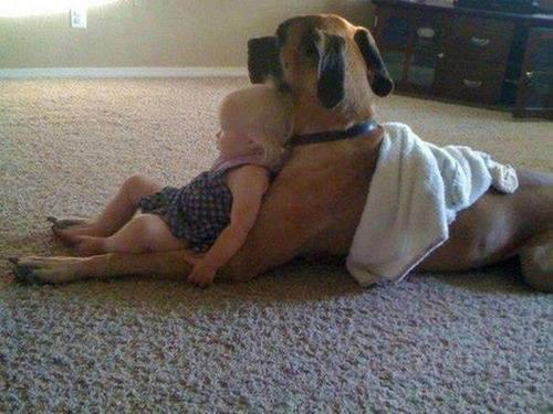 Les chiens Baby Sitters.. Magnifique... 1312