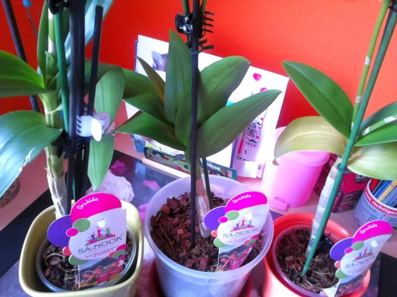 Dendrobium- Phalaenopsis und Phalaenopsis Dendro24