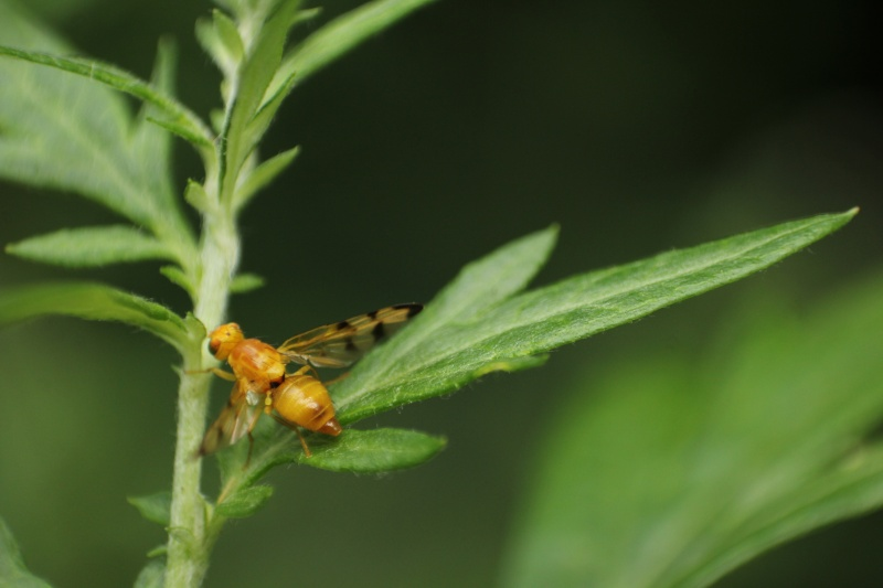 [Trypeta artemisiae] ailes rayées. Trypet11