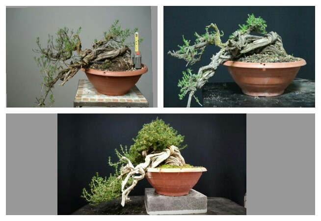 TIMO ... futuro bonsai ... - Pagina 2 Velpic10