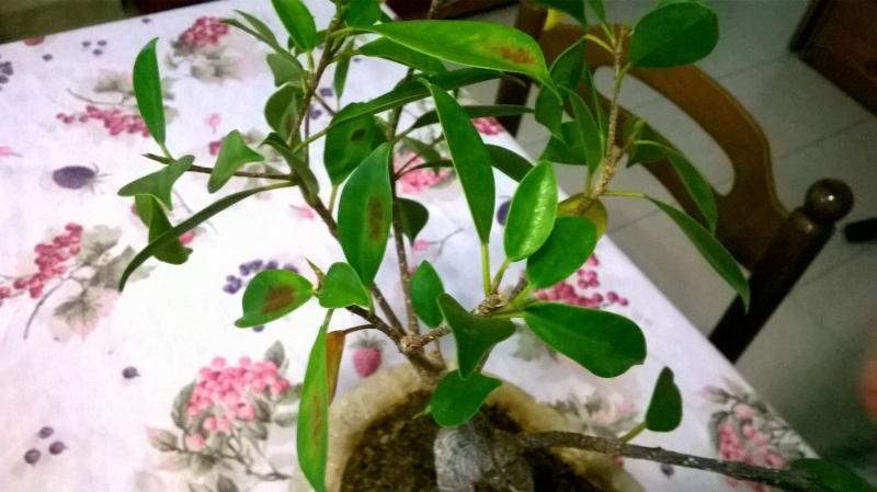 Ficus malato..diagnosi? Img-2015