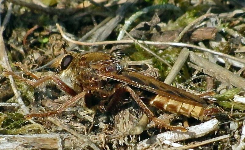 Asilus craboniformis Asilus10