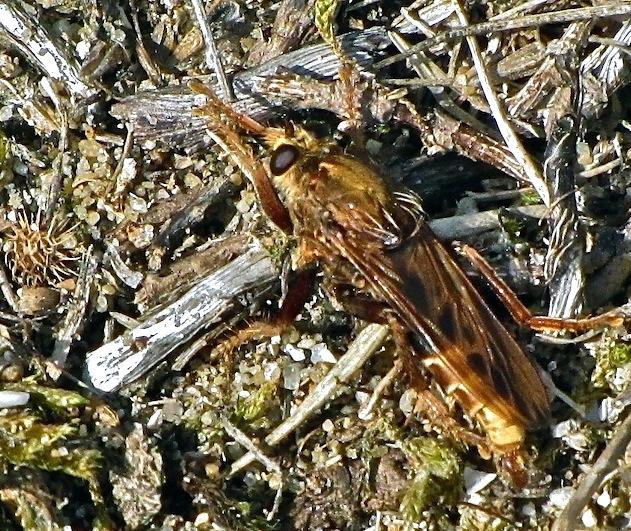 Asilus craboniformis Asilus11