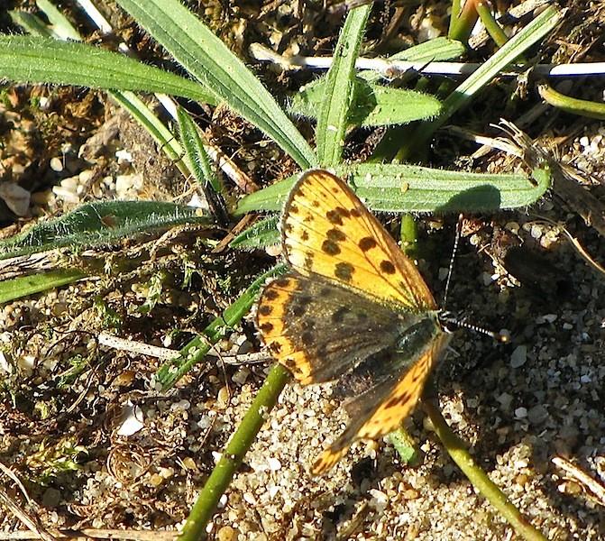 Papillon orangé tacheté brun: Cuivré fuligineux/Lycaena tityrus Img_5510