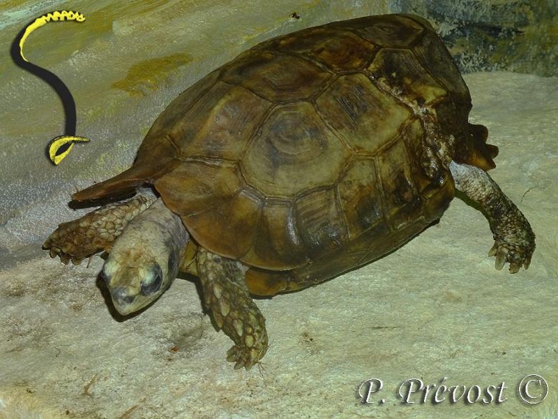 Kinixis erosa, nouveaux nés au zoo... -210