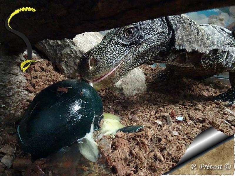 "Varanus salvadorii, notre ""raptor"" est parti. Dsc01710"