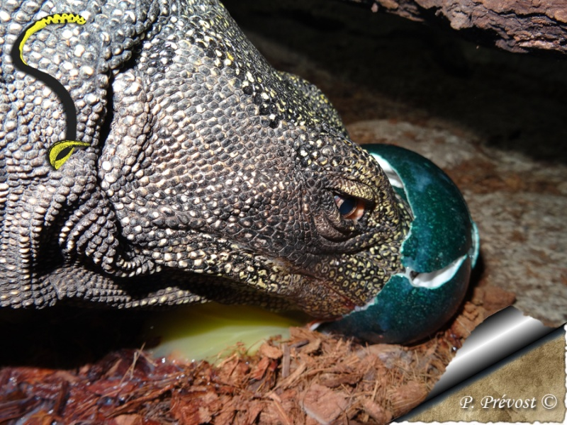 "Varanus salvadorii, notre ""raptor"" est parti. Dsc01712"