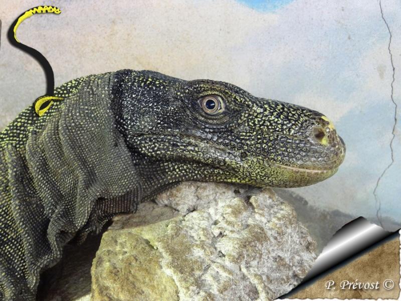 "Varanus salvadorii, notre ""raptor"" est parti. Dsc02510"
