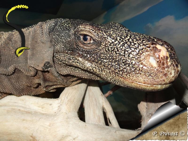 "Varanus salvadorii, notre ""raptor"" est parti. Dsc03510"