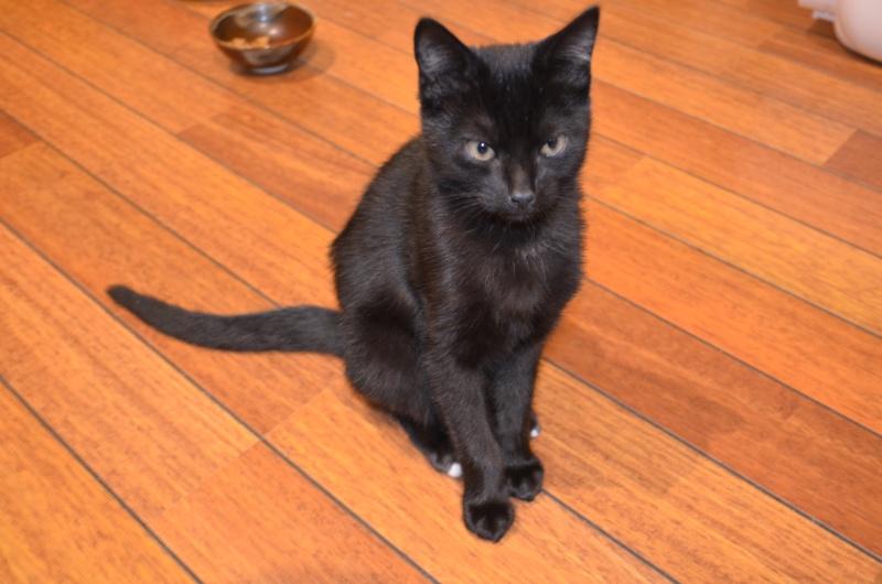 Lucifer, chaton  de type européen  noir, né le 01/07/2015 Dsc_0018