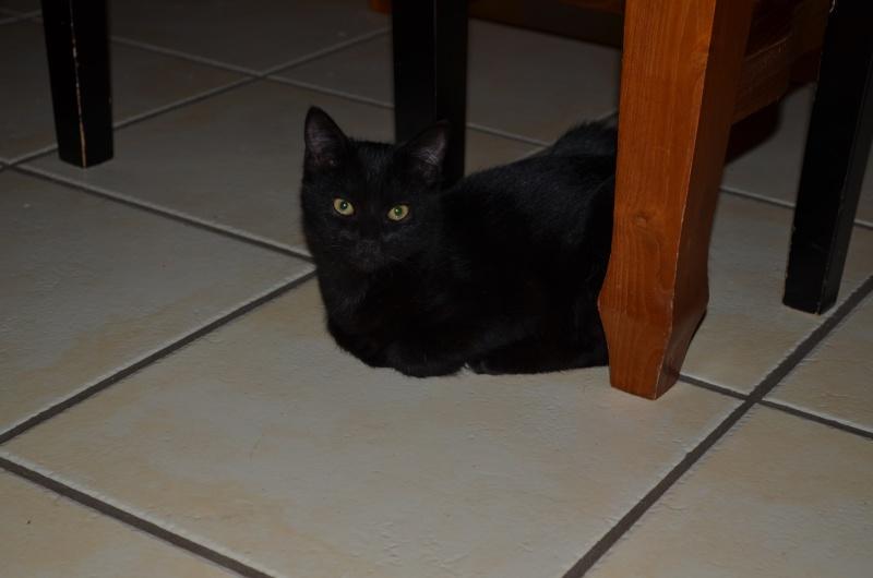 Lucifer, chaton  de type européen  noir, né le 01/07/2015 Dsc_0021