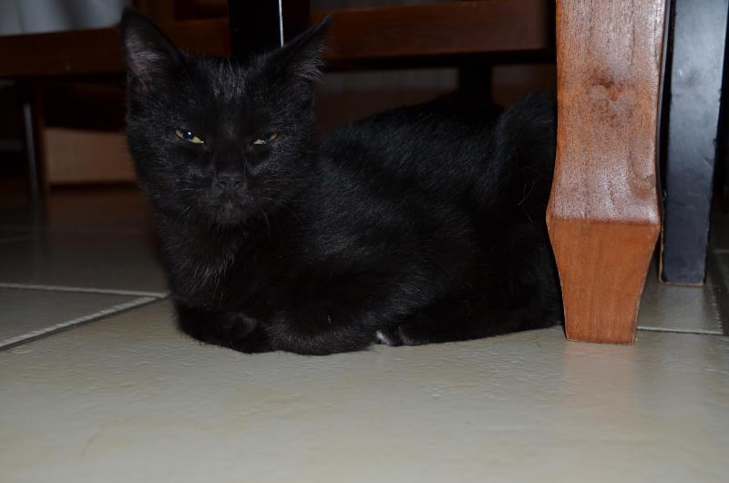 Lucifer, chaton  de type européen  noir, né le 01/07/2015 Dsc_0022