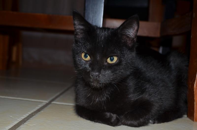 Lucifer, chaton  de type européen  noir, né le 01/07/2015 Dsc_0023