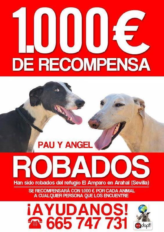 ANGEL Galgo - né le 12/12/2013 - à l'adoption Volé au refuge !!! 895