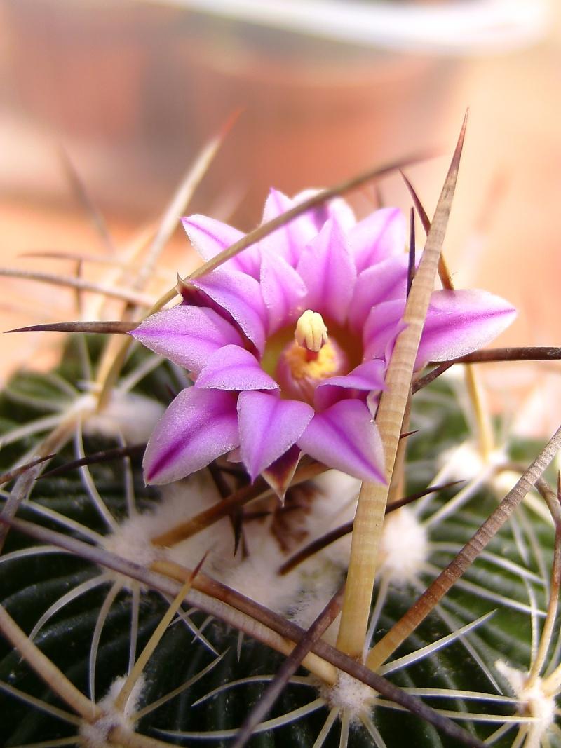 Echinofossulocactus multicostatus Echino10