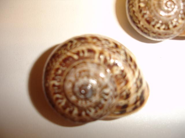 Allognathus balearicus balearicus (Rossmasser, 1838) 611