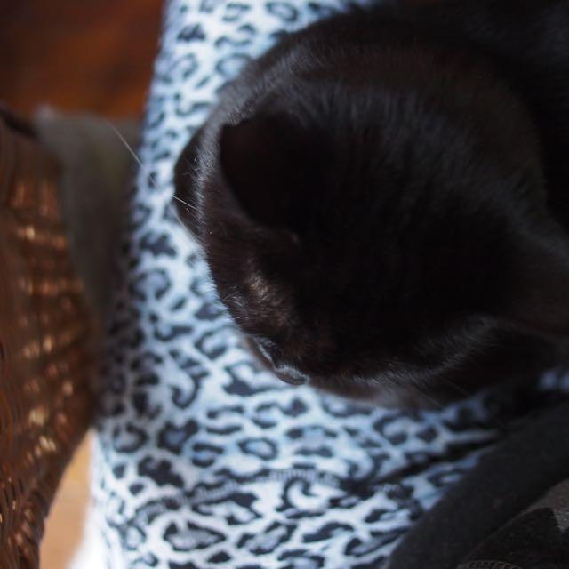 Jenga, femelle type européenne noire estimée née 15/10/2014 - Page 3 Pa164111