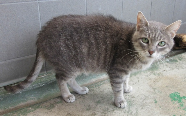 Lilas, chatte tabby et grise Lilas110