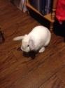 Association White Rabbit - Réhabilitation des lapins de laboratoire - Page 4 Nugget10