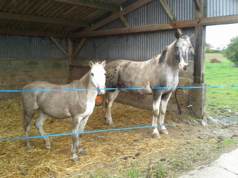 FRIPON - Welsh Pony né en 1993 - adopté en juillet 2015 par Claire 12096214