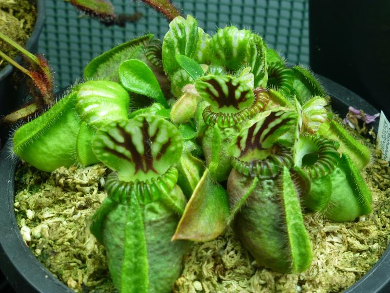 photos de céphalotus P1010720
