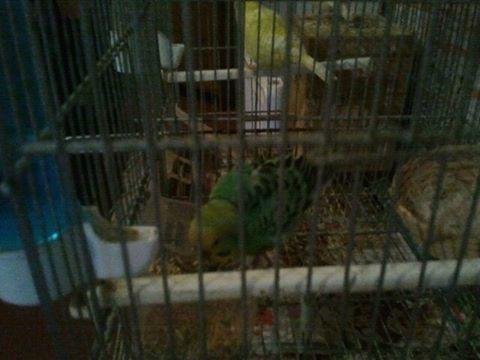 Pet Alert : Oiseaux trouvé !  11933410