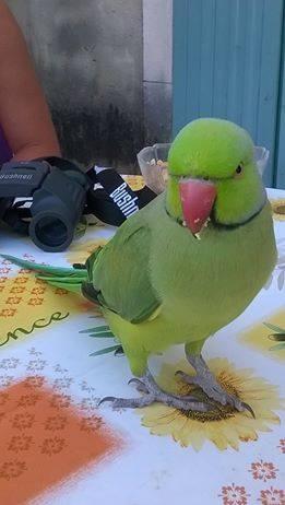 Pet Alert : Oiseaux trouvé !  11986910