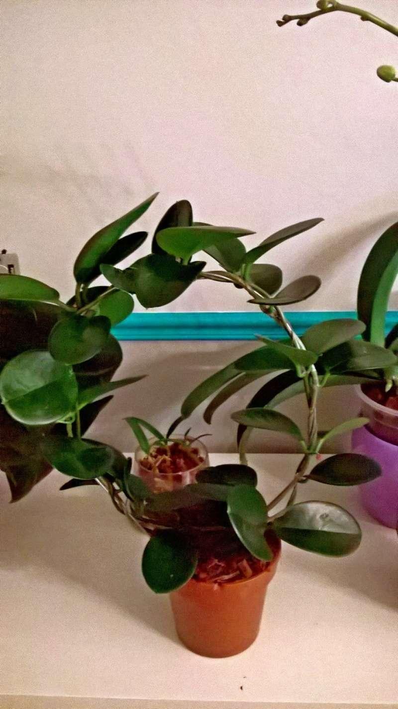 Hoya australis Wp_20117