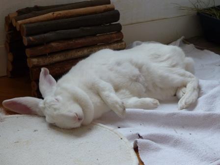 [ADOPTEE] Acacia, lapine de laboratoire à adopter 33237011