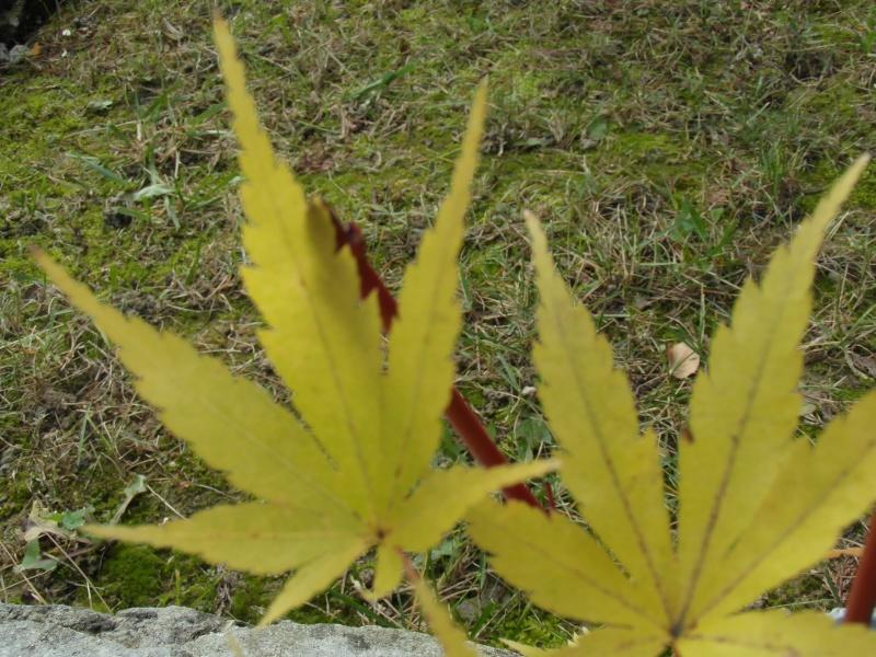 Riconoscimento specie (Aceri e altro) Sam_1235