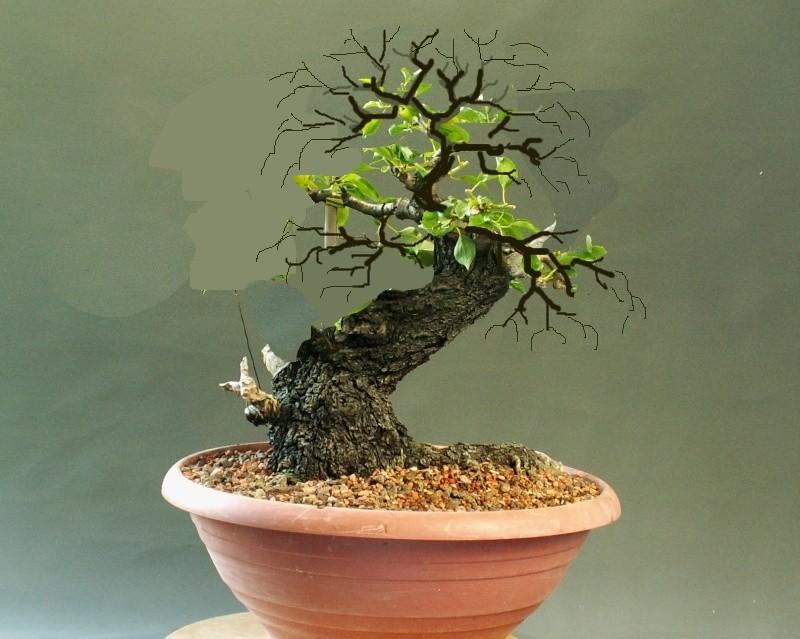 Prunus mahaleb_Zorro Mahale10