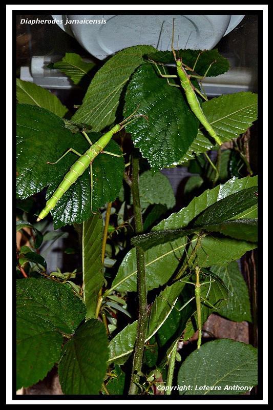 Diapherodes jamaicensis (PSG 214) Diaphe13