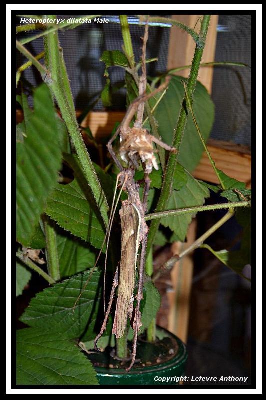 Heteropteryx dilatata (P.S.G n°18) - Page 4 Hetero11
