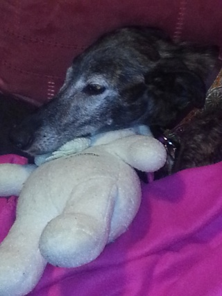 Valentina, petite galga borgne, prise en charge par Scooby France  Adoptée  - Page 2 Val1510