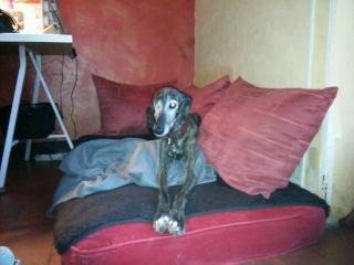 Valentina, petite galga borgne, prise en charge par Scooby France  Adoptée  - Page 2 Val1810