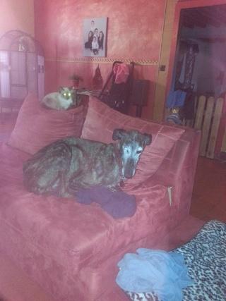 Valentina, petite galga borgne, prise en charge par Scooby France  Adoptée  - Page 2 Val510